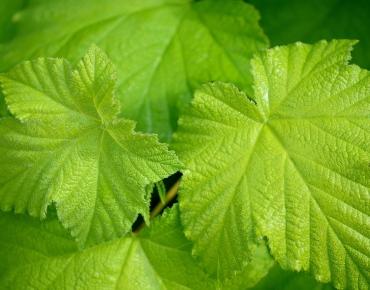 feuille-de-vigne